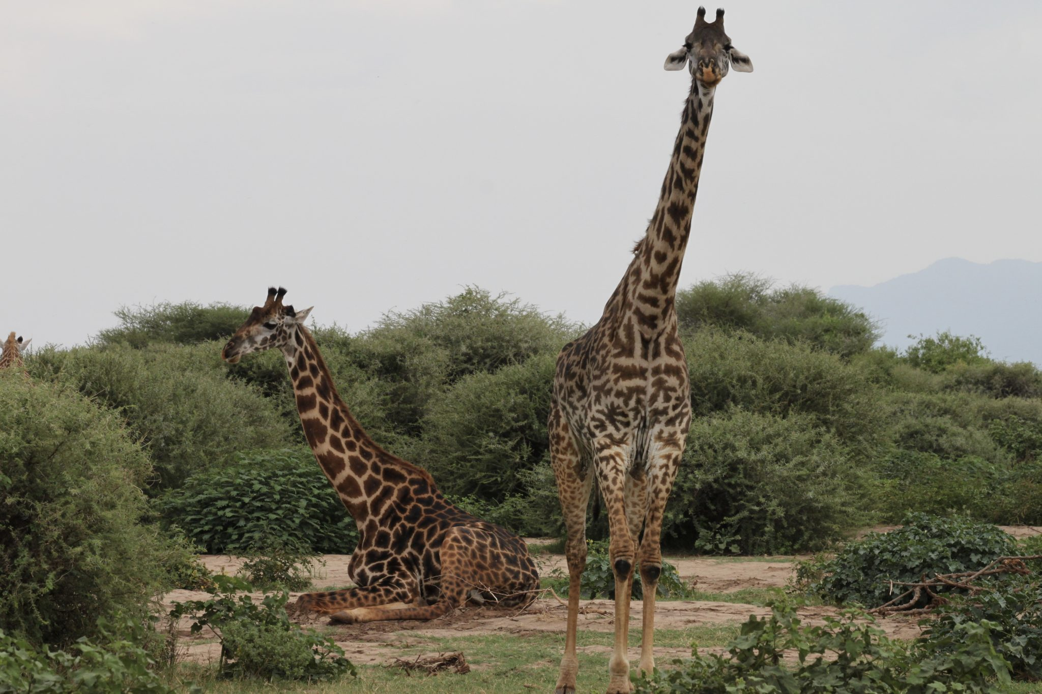 safari, tanzania, africa, serengeti, animals, giraffe