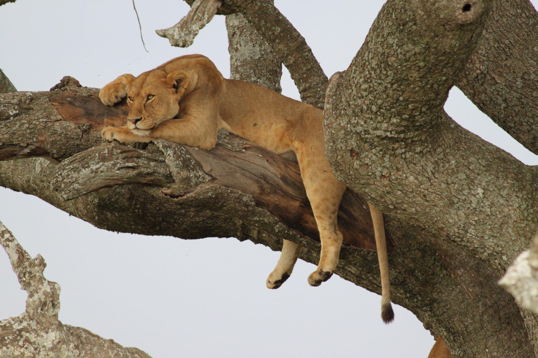 tanzania, africa, serengeti, safari, lion, african safari
