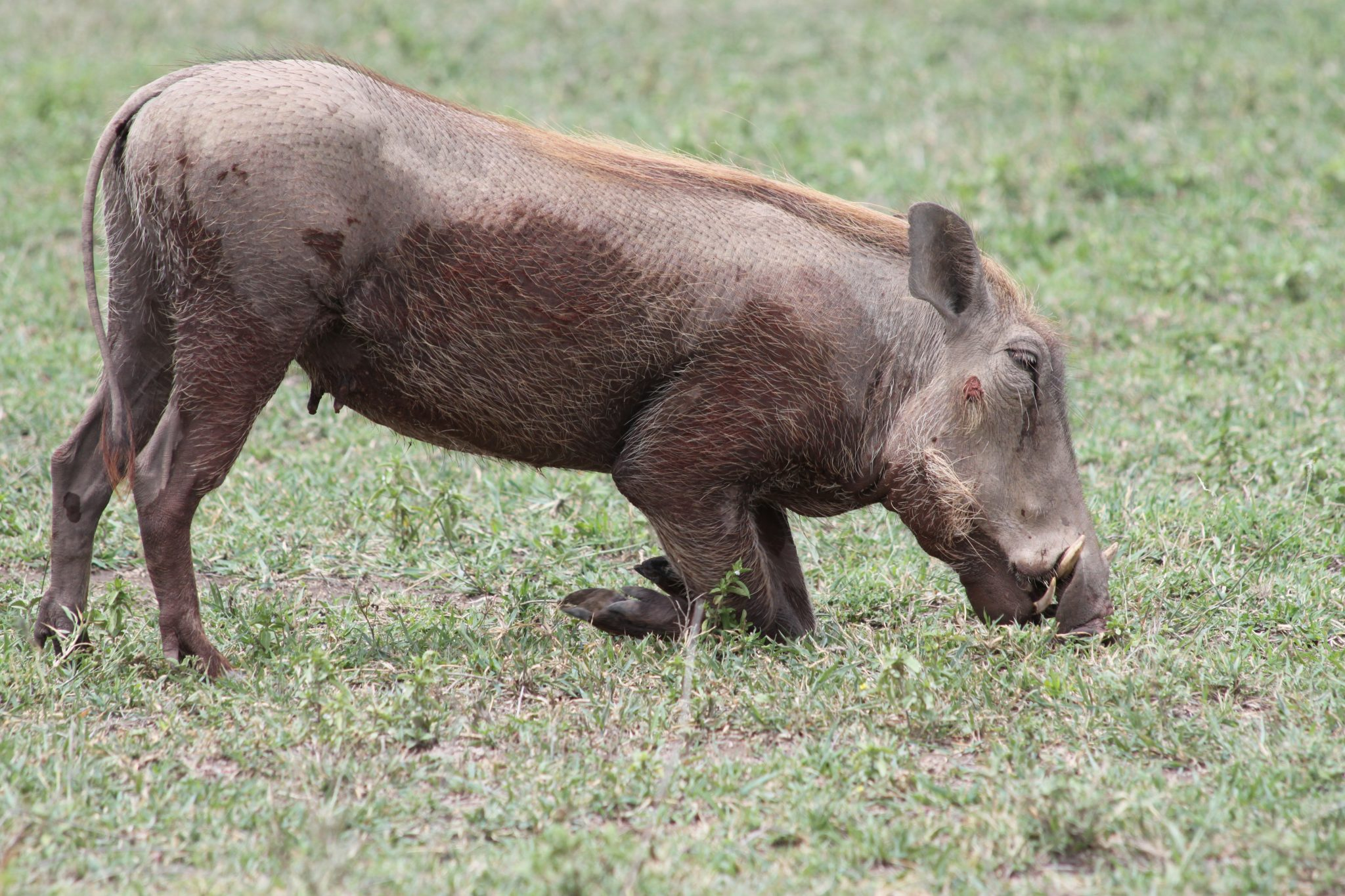 safari, Tanzania, africa, serengeti, animals, warthog