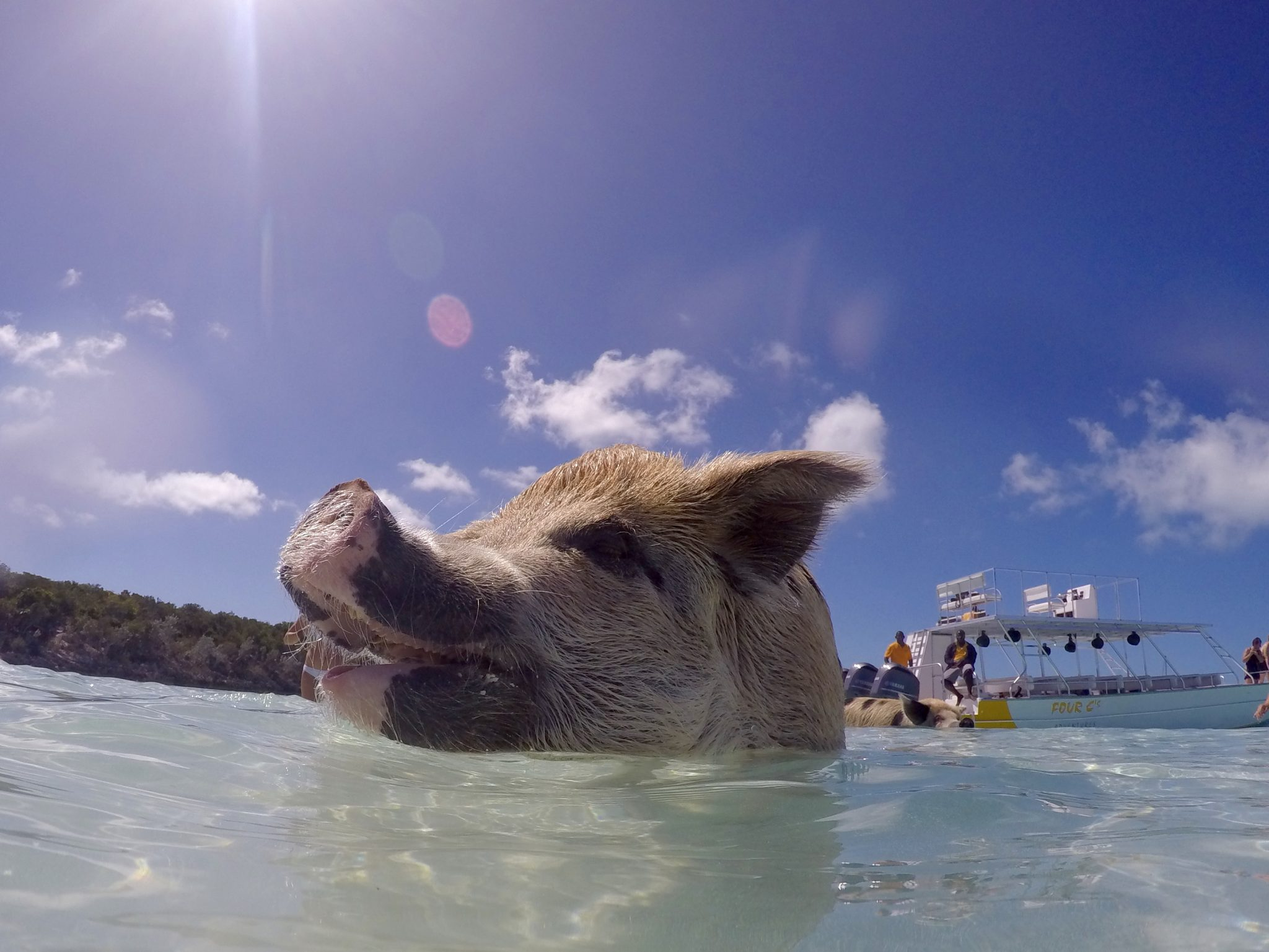 exuma, bahamas, swimming pig