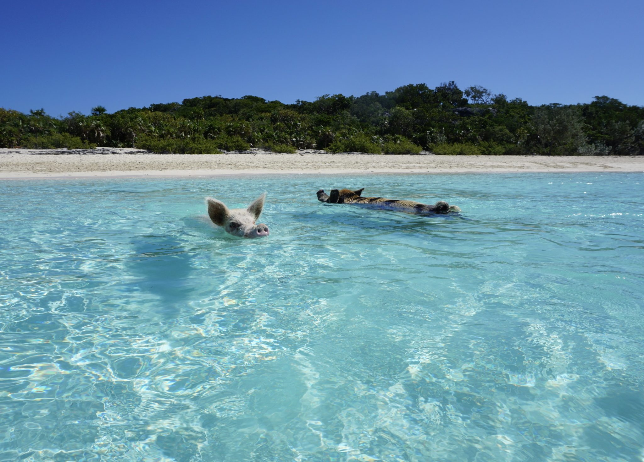 exuma, bahamas, big major cay, swimming pigs