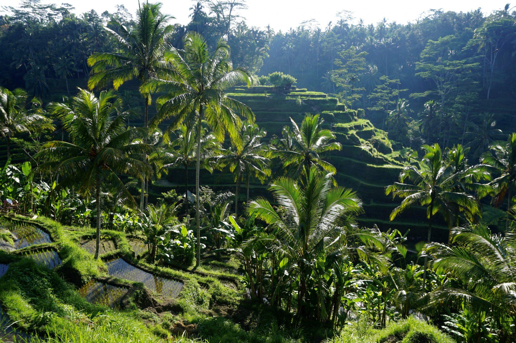 tegalalang, rice terrace, ubud, bali