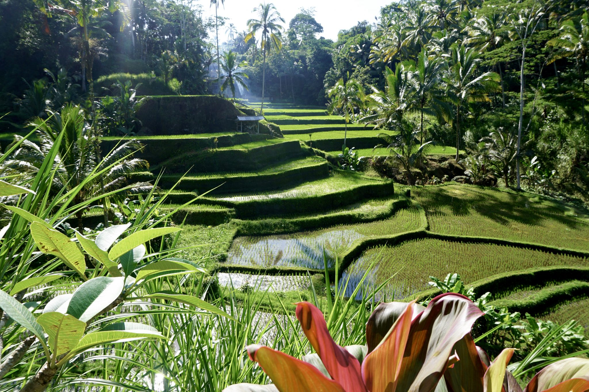 bali, rice terrace, ubud, tegalalang
