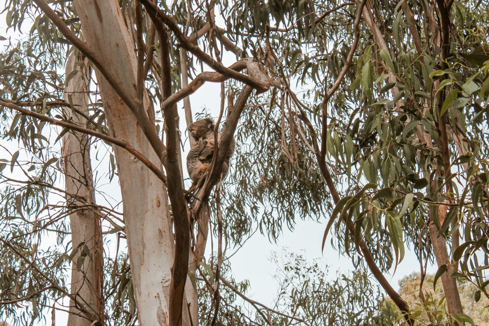 Kennett River koala in tree Great Ocean Road