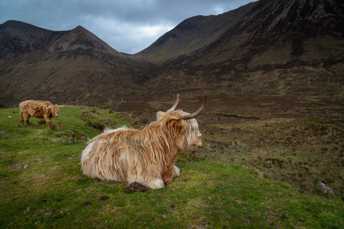 Scottish Highlander cows Isle of Skye