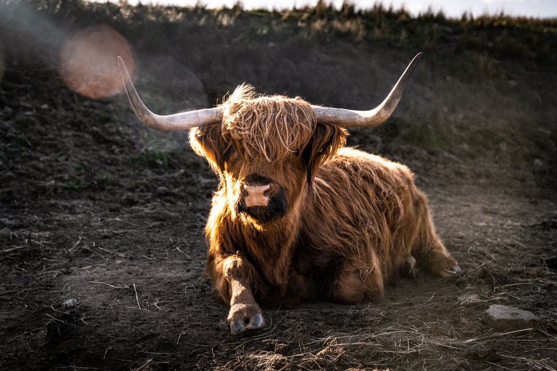 Scottish Highlander Cow Isle of skye