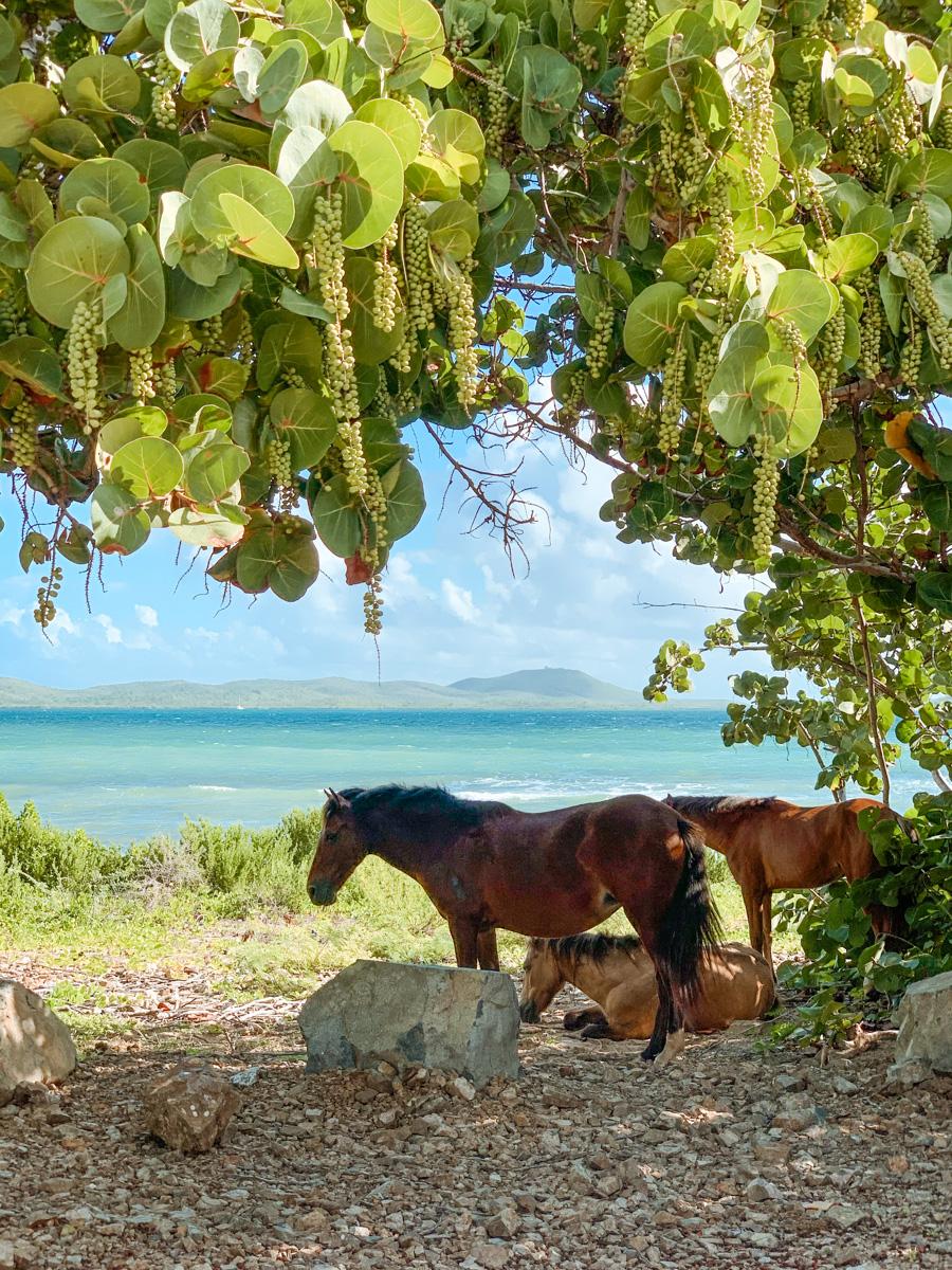 wild horses vieques